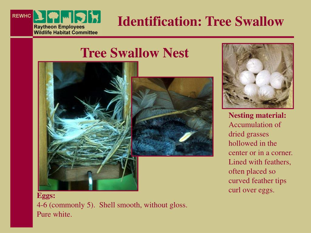 Identification: Tree Swallow
