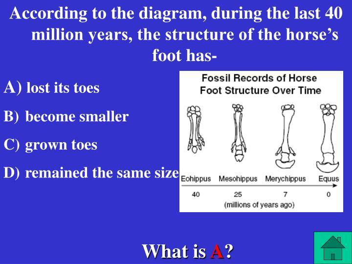 According to the diagram, during the last 40 million years, the structure of the horse's foot has-