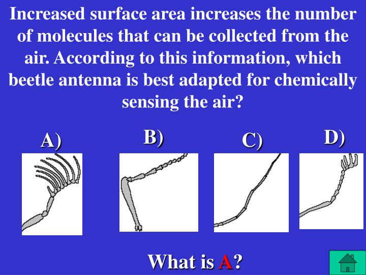 Increased surface area increases the number of molecules that can be collected from the air. According to this information, which beetle antenna is best adapted for chemically sensing the air?
