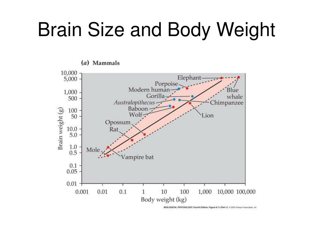 Brain Size and Body Weight