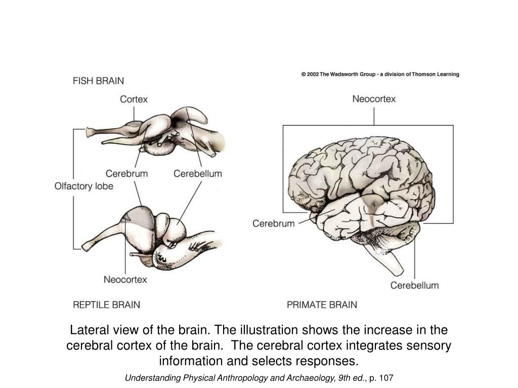 Lateral view of the brain. The illustration shows the increase in the