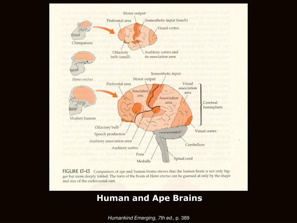 Human and Ape Brains