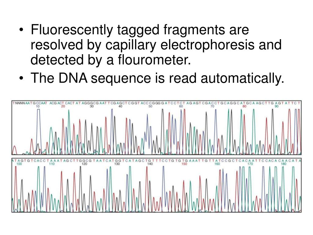 Fluorescently tagged fragments are resolved by capillary electrophoresis and detected by a flourometer.