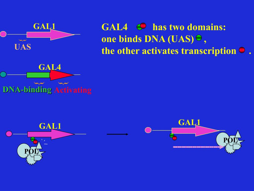 GAL4          has two domains: