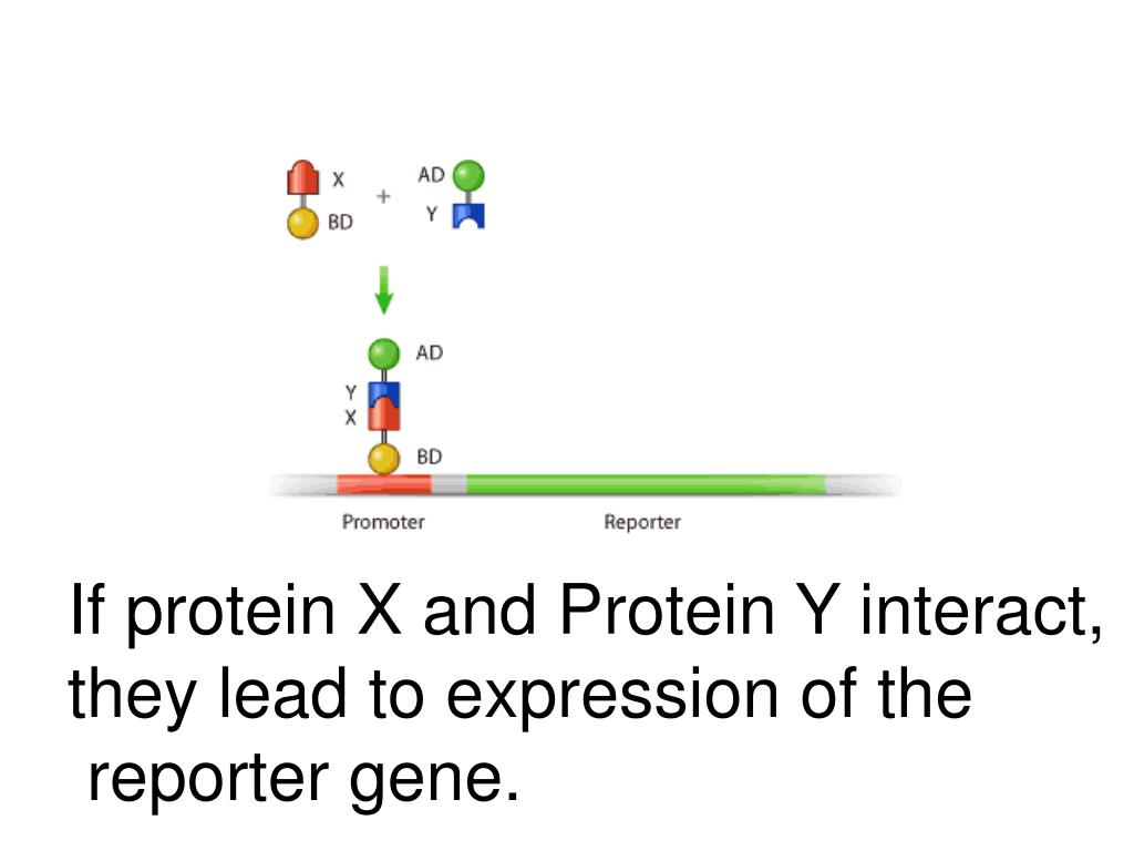 If protein X and Protein Y interact,