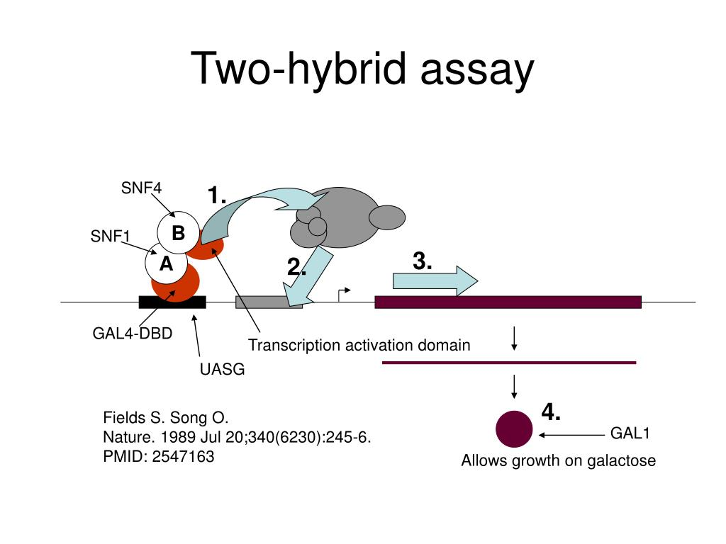 Two-hybrid assay