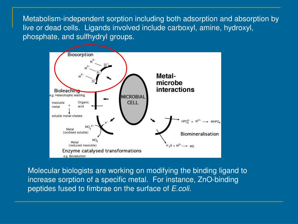 Metabolism-independent sorption including both adsorption and absorption by live or dead cells.  Ligands involved include carboxyl, amine, hydroxyl, phosphate, and sulfhydryl groups.