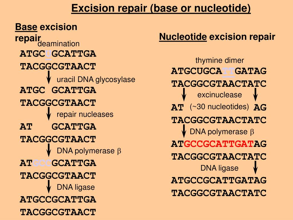 Excision repair (base or nucleotide)
