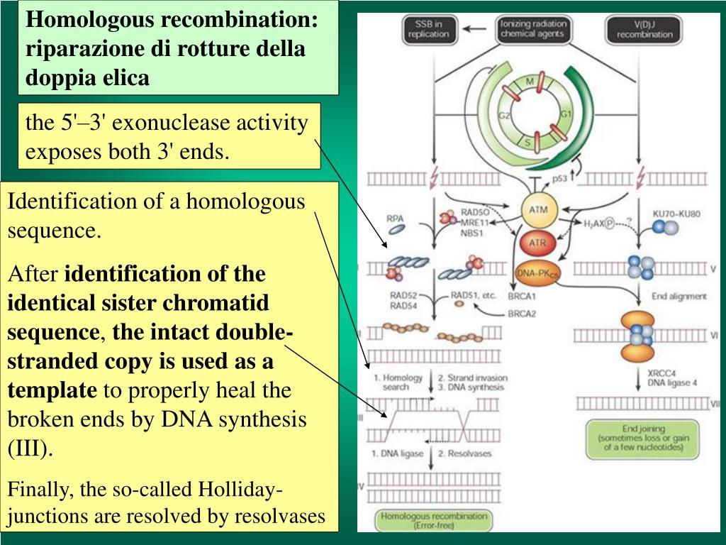 Homologous recombination: riparazione di rotture della doppia elica