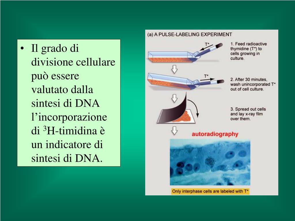 Il grado di divisione cellulare può essere valutato dalla sintesi di DNA l'incorporazione di