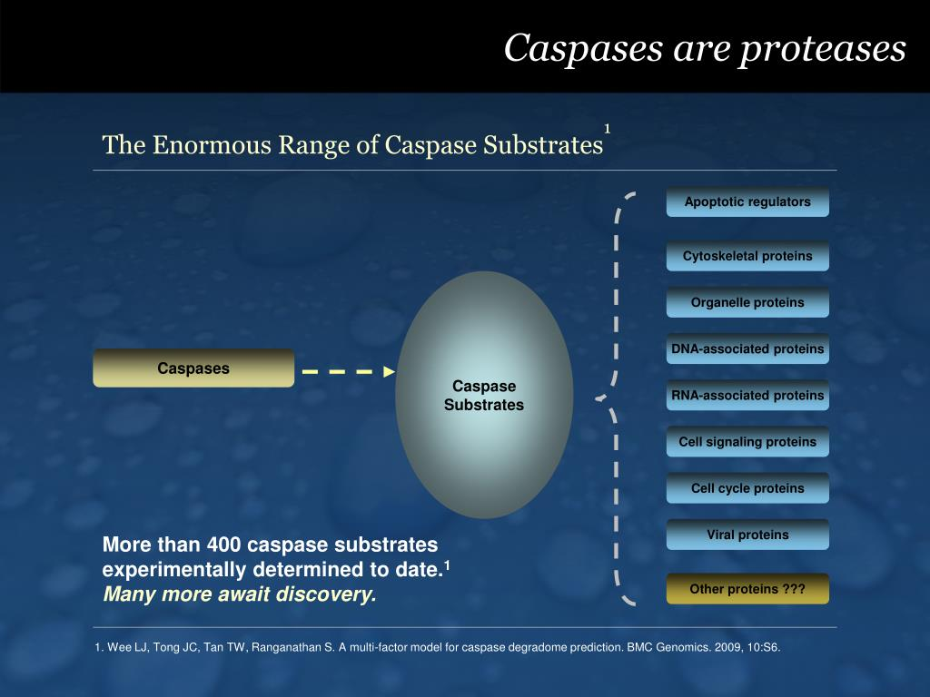 Caspases are proteases