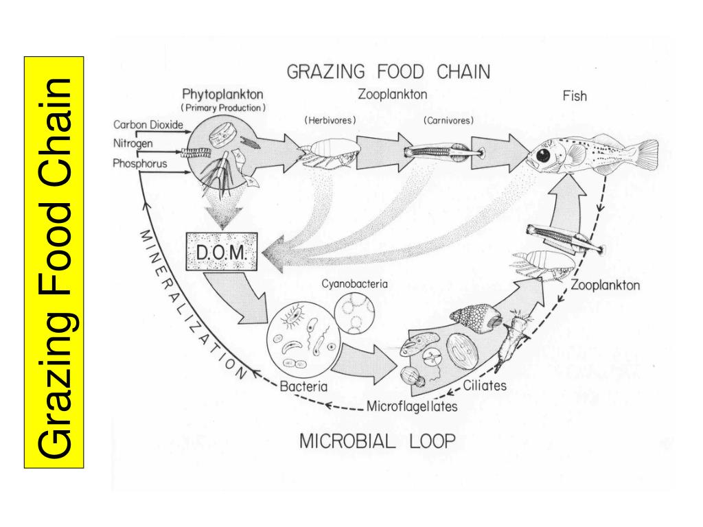 Grazing Food Chain