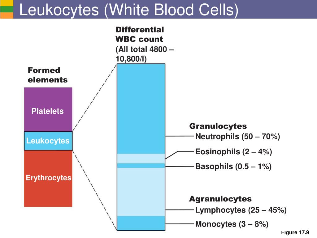 Leukocytes (White Blood Cells)