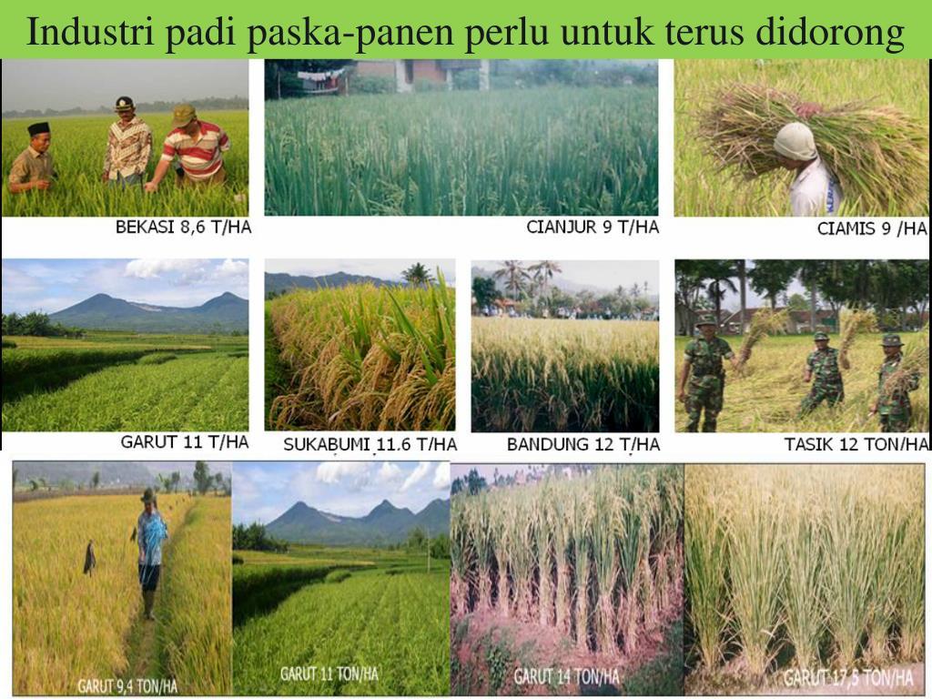 Industri padi paska-panen perlu untuk terus didorong