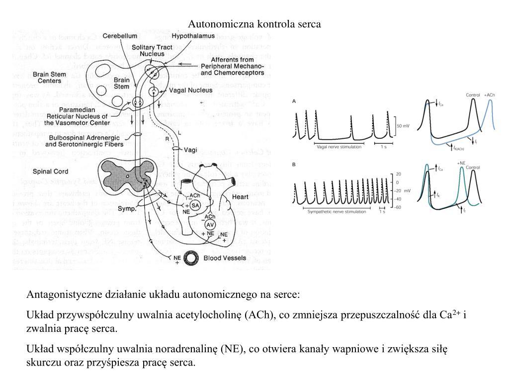 Autonomiczna kontrola serca