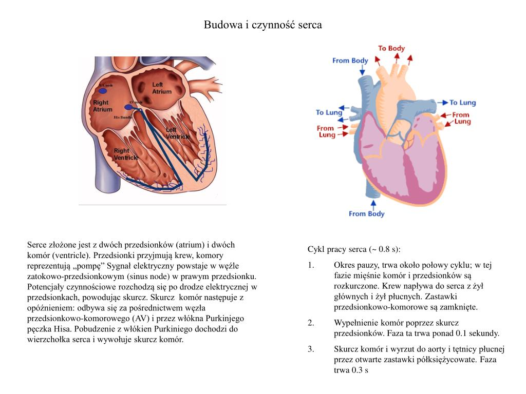 Budowa i czynność serca