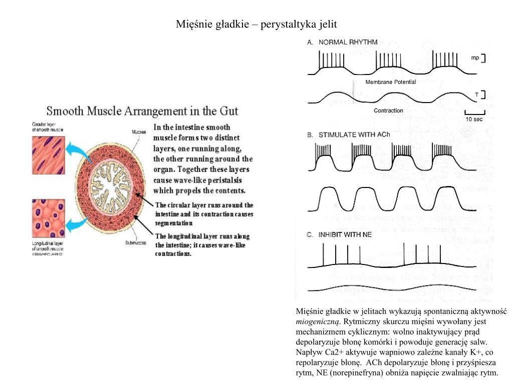 Mięśnie gładkie – perystaltyka jelit
