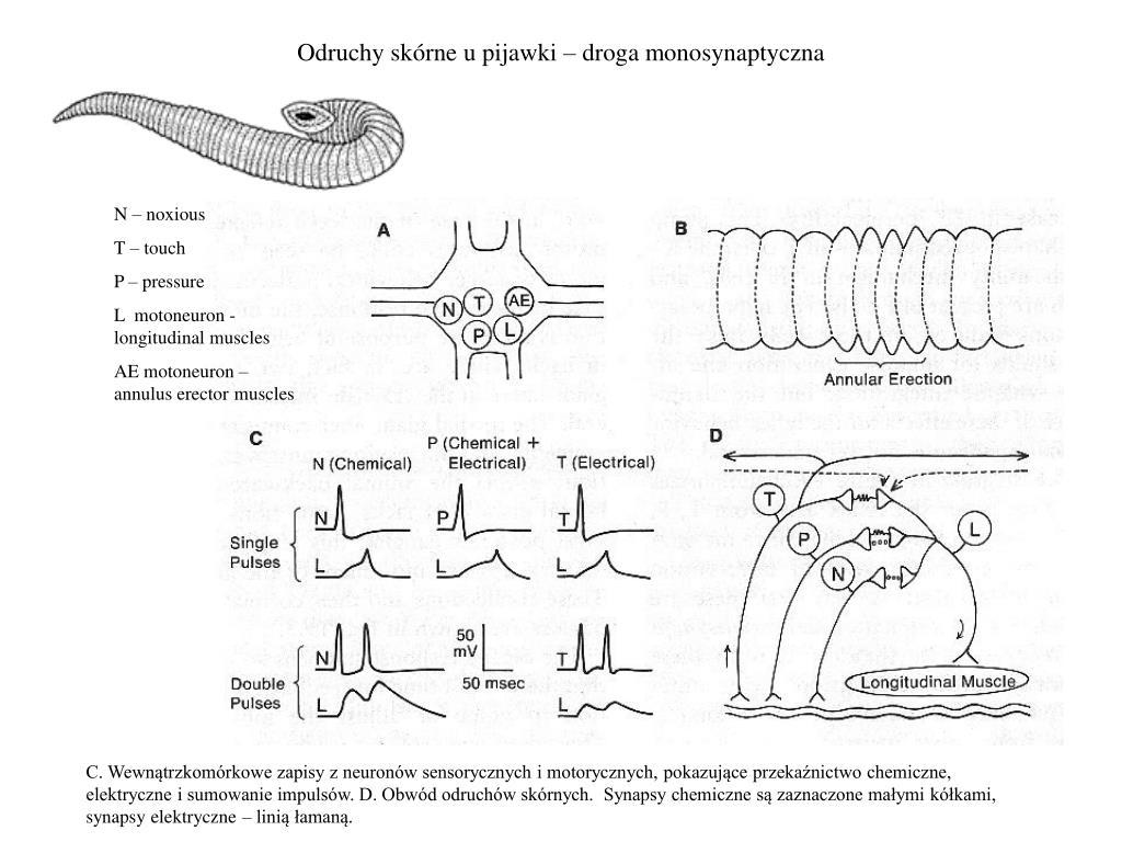 Odruchy skórne u pijawki – droga monosynaptyczna