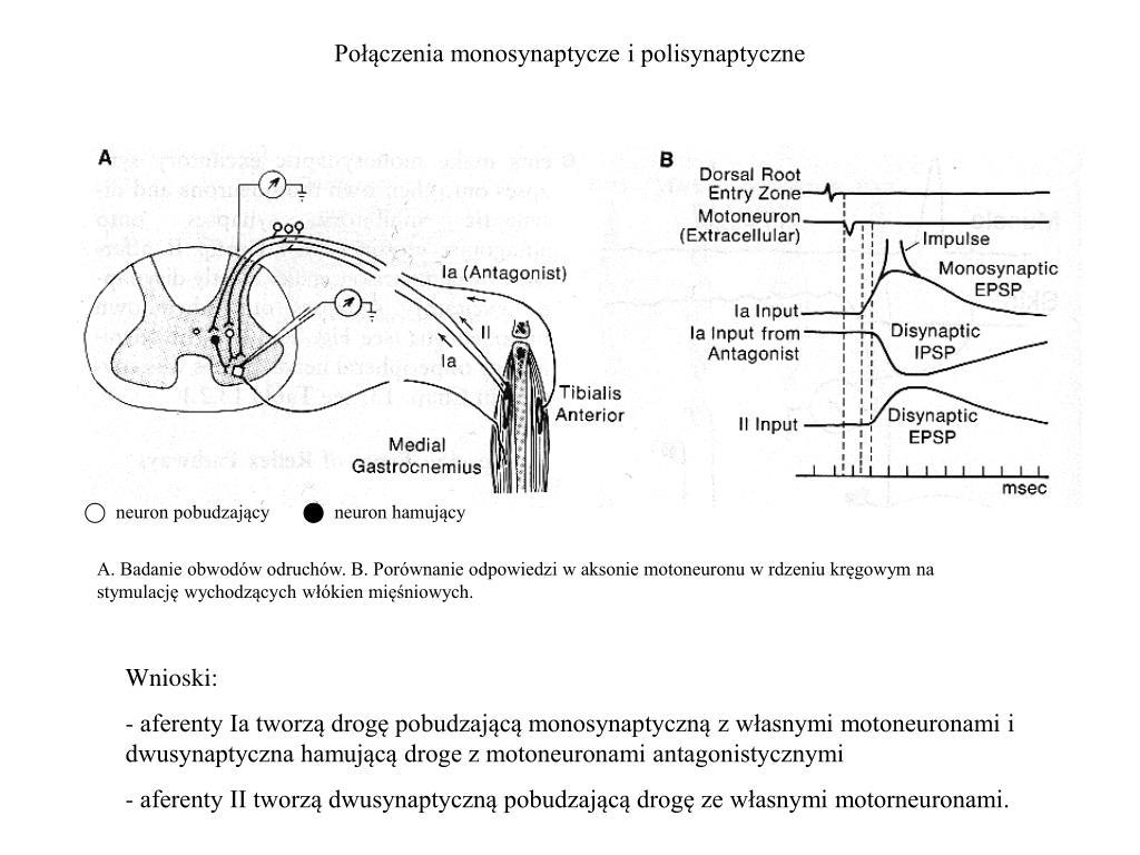 Połączenia monosynaptycze i polisynaptyczne