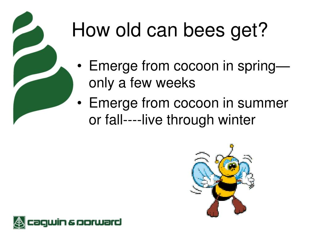 How old can bees get?