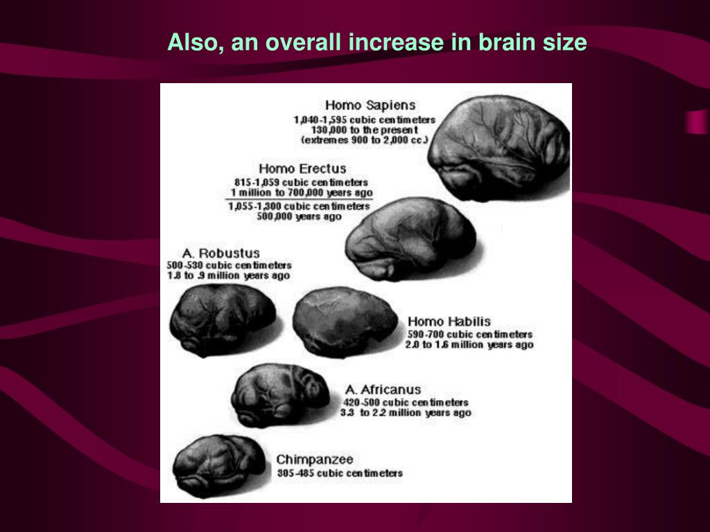 Also, an overall increase in brain size