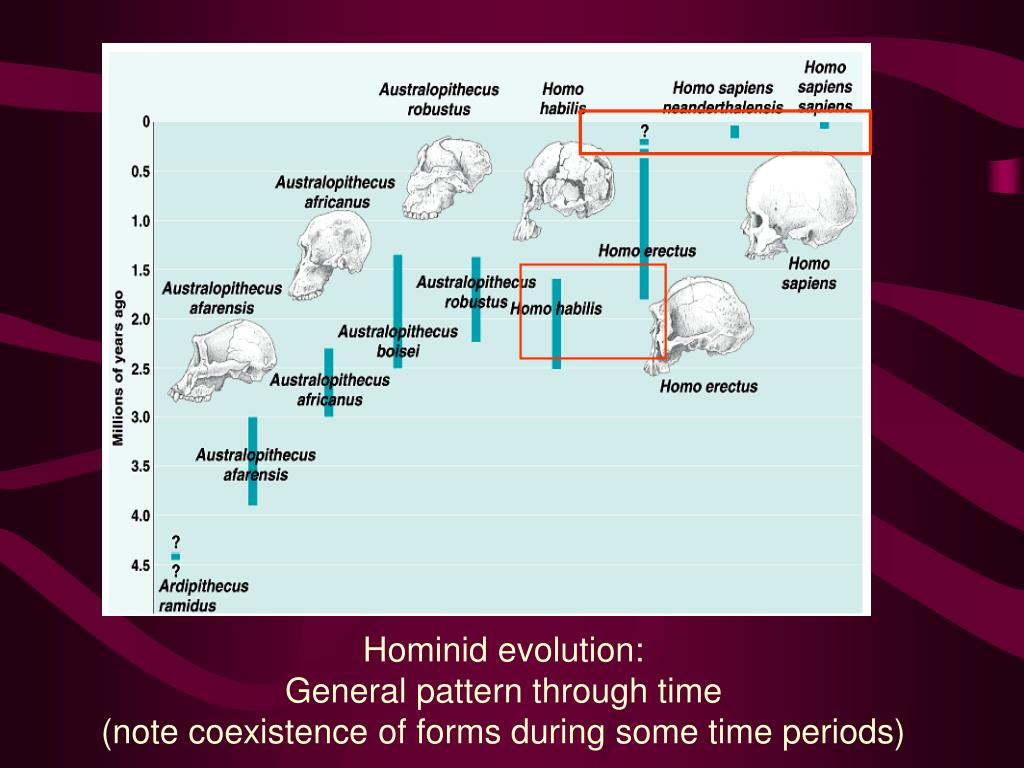 Hominid evolution: