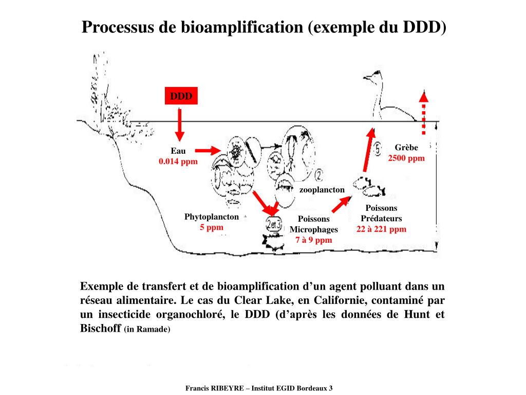 Processus de bioamplification (exemple du DDD)
