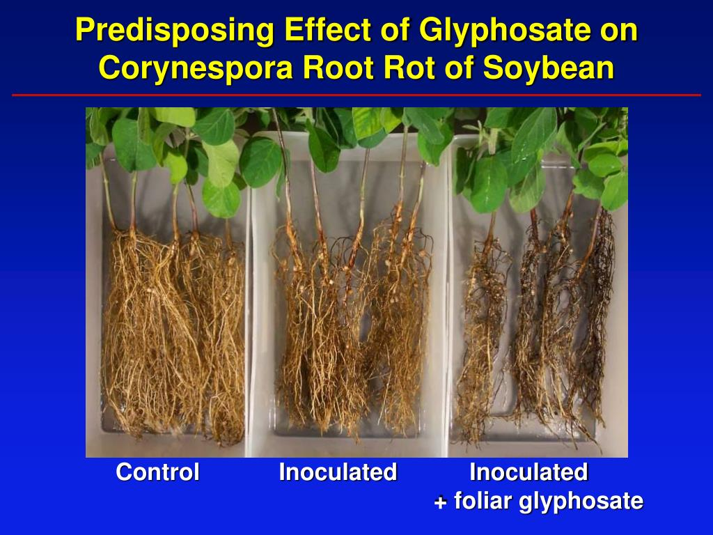 Predisposing Effect of Glyphosate on Corynespora Root Rot of Soybean