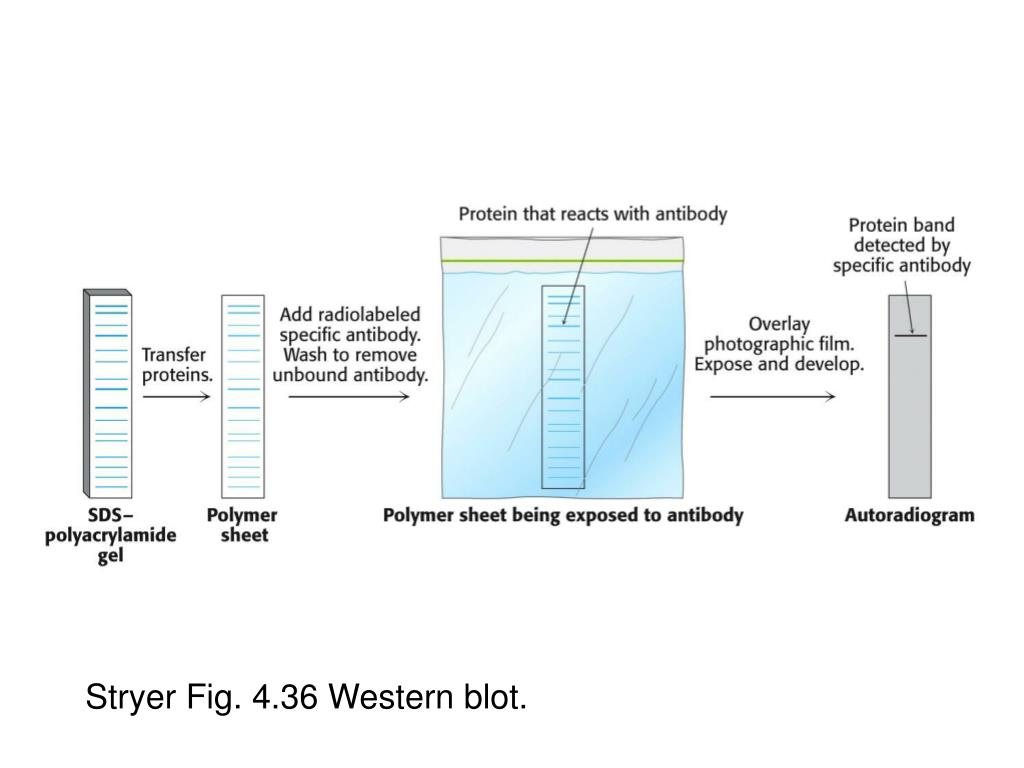 Stryer Fig. 4.36 Western blot.