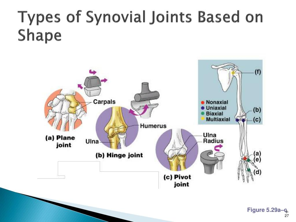 Types of Synovial Joints Based on Shape