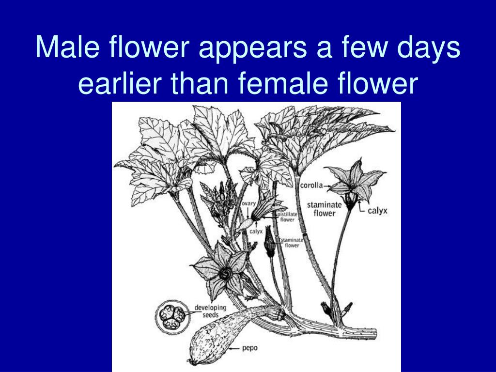 Male flower appears a few days earlier than female flower