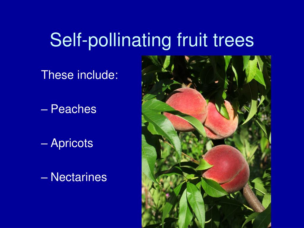 Self-pollinating fruit trees