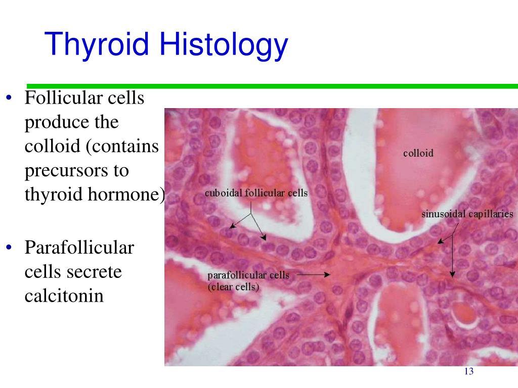 Thyroid Histology
