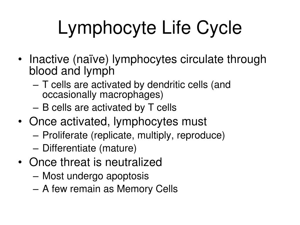 Lymphocyte Life Cycle