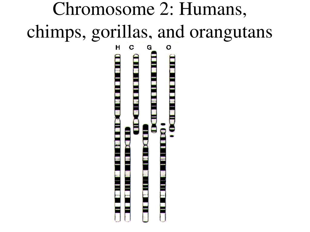 Chromosome 2: Humans, chimps, gorillas, and orangutans