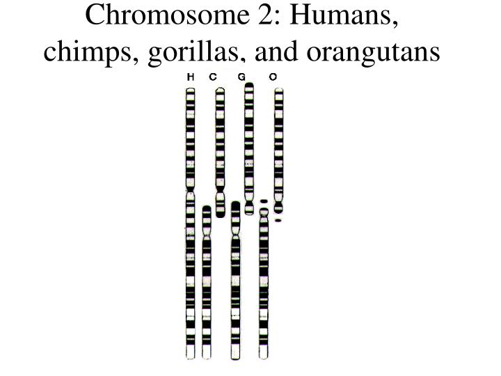 Chromosome 2 humans chimps gorillas and orangutans