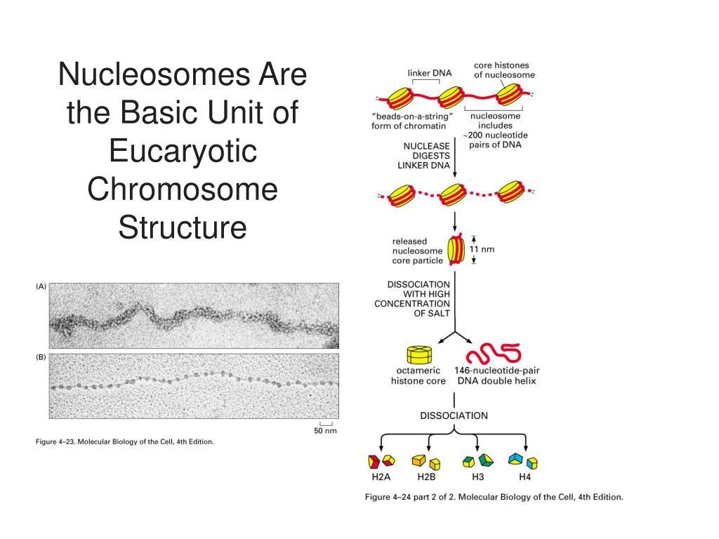 PPT - Eucaryotic Chromosomes PowerPoint Presentation - ID ...