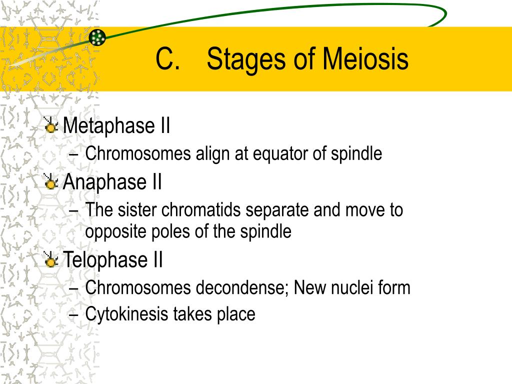 C.	Stages of Meiosis