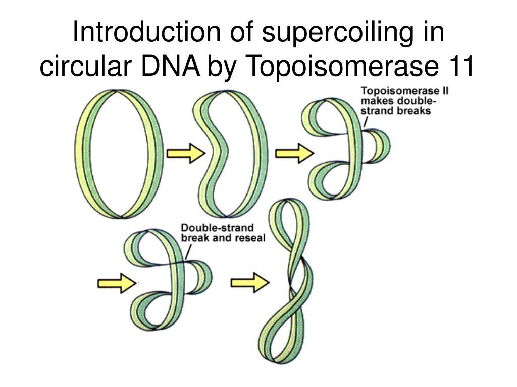 Introduction of supercoiling in circular DNA by Topoisomerase 11