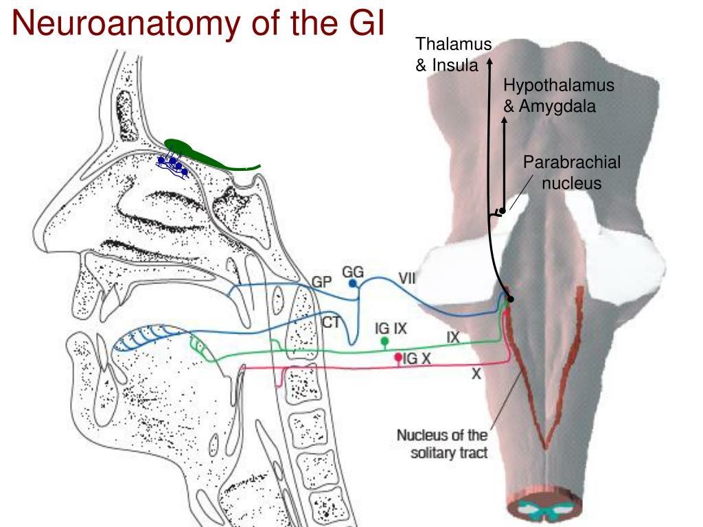 Neuroanatomy of the GI