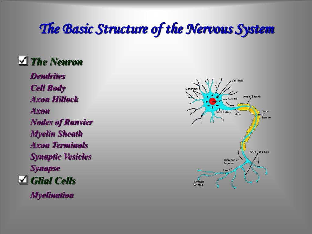 The Basic Structure of the Nervous System