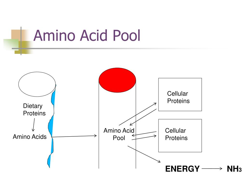 Amino Acid Pool