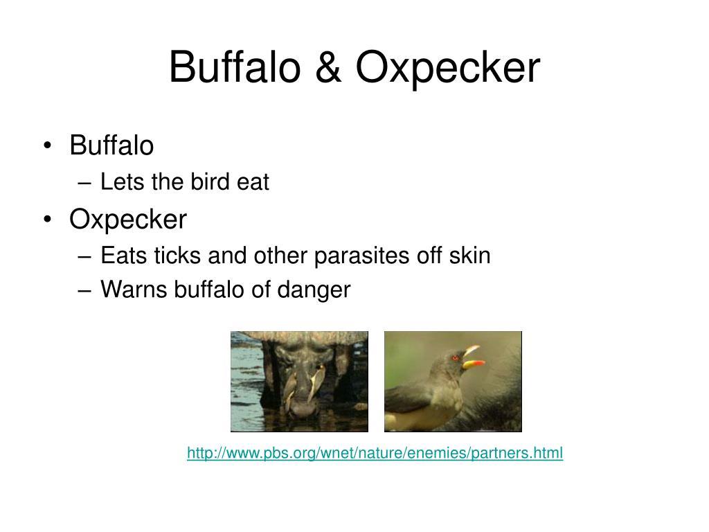 Buffalo & Oxpecker