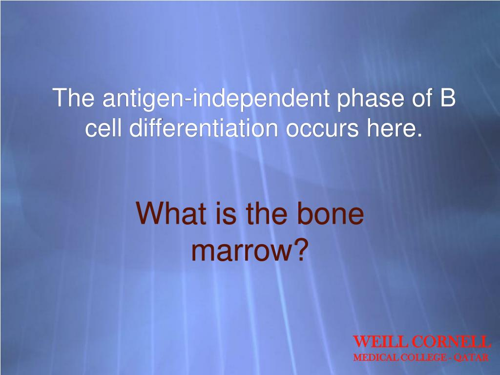 The antigen-independent phase of B cell differentiation occurs here.