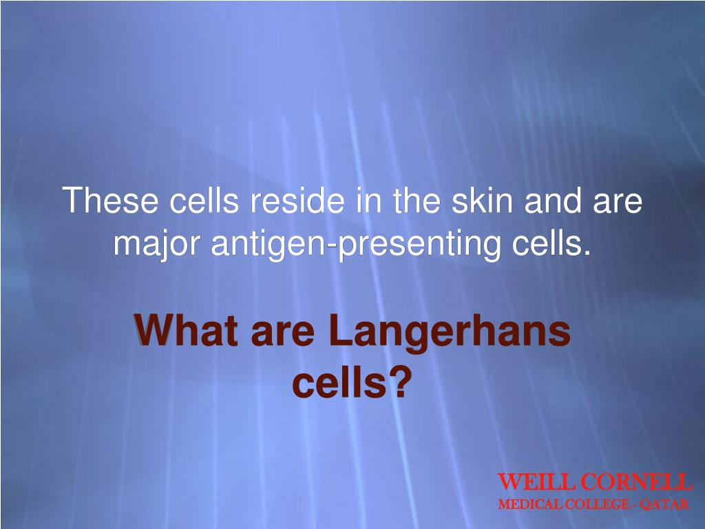 These cells reside in the skin and are major antigen-presenting cells.