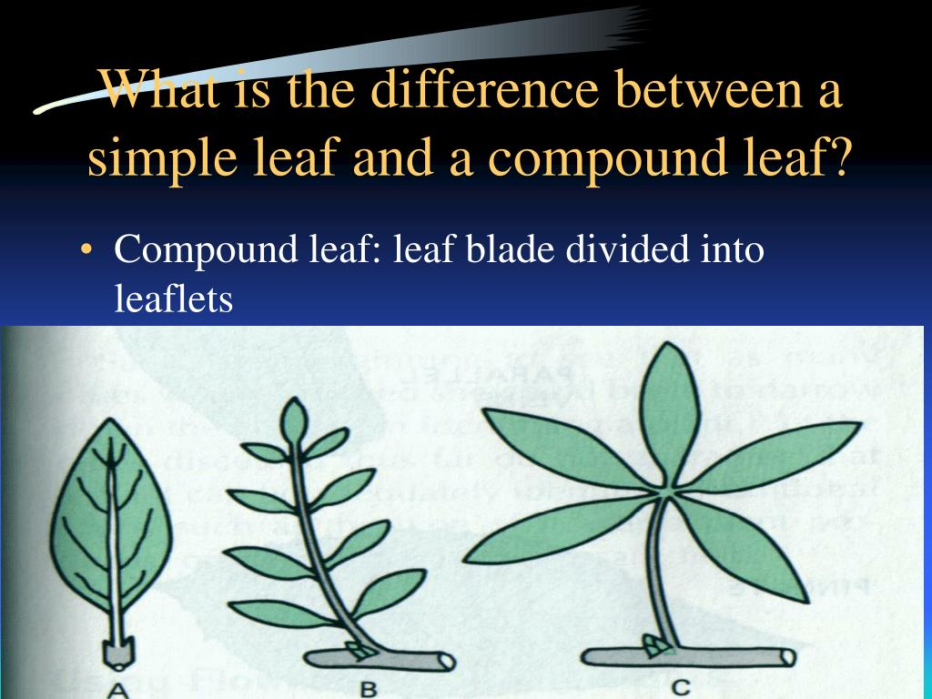 What is the difference between a simple leaf and a compound leaf?