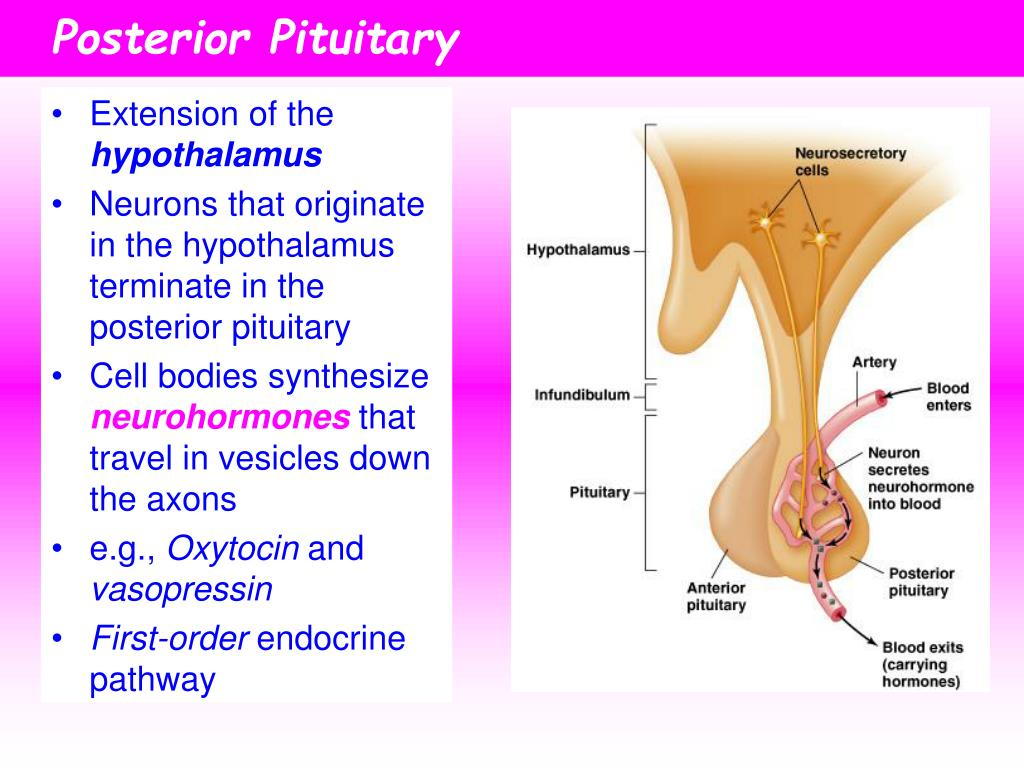 How Can Posterior Pituitary Hormones Travel Down Nerves