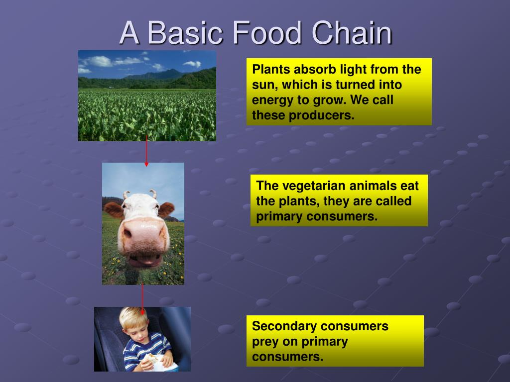 A Basic Food Chain