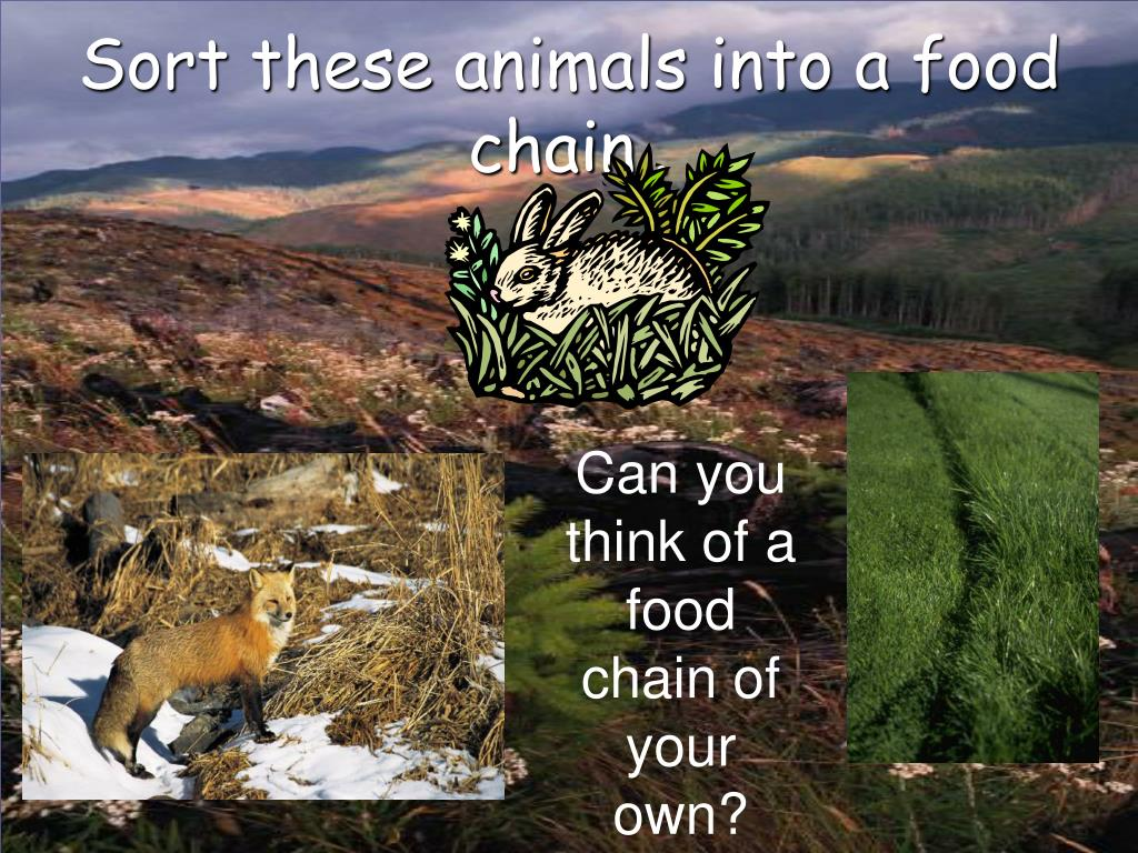 Sort these animals into a food chain..