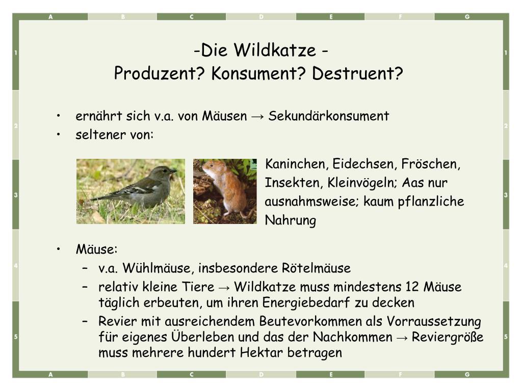 Die Wildkatze -